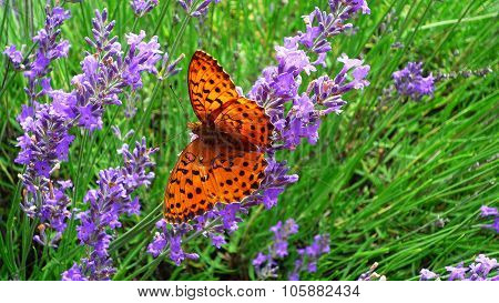 Cardinal Butterfly on lavender