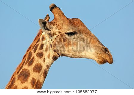 Portrait of a giraffe (Giraffa camelopardalis) with oxpecker bird, Kruger National Park, South Africa