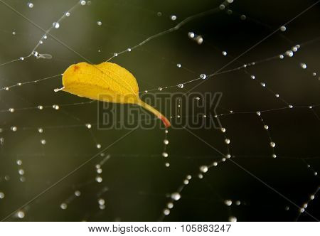 Golden Leaf In A Web Of Raindrops