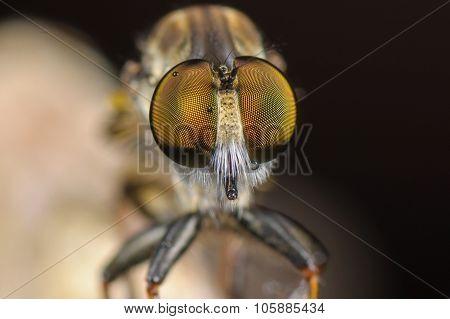 Macro Potrait of Robberfly