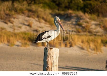 Pelican standing on a post