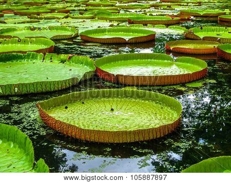 Giant water lillies Mauritius