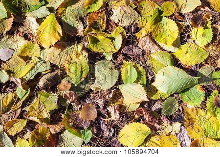 Fallen Hazel Leaves And Larch Needles In Autumn