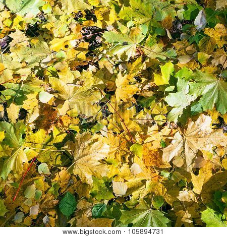 Yellow Green Maple And Birch Leaves In Autumn