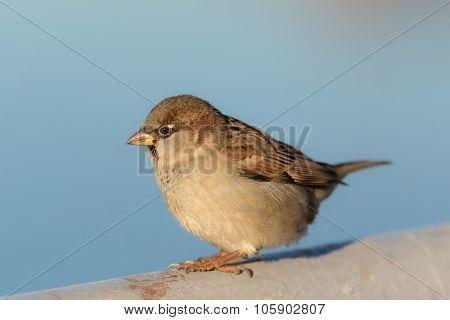 Portrait Of A Sitting Sparrow