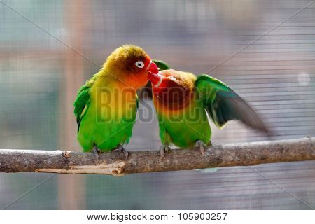 Kissing beautiful green lovebird parrot