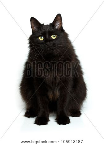 Cute Fluffy Black Cat Isolated On White
