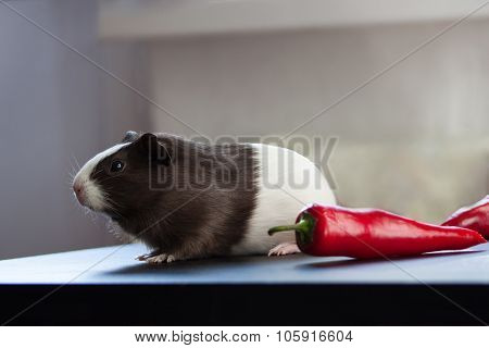 Guinea pig and red pepper.