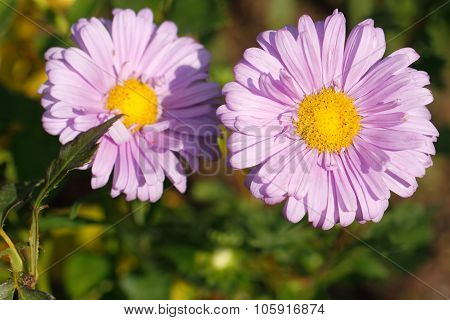 Blooming Asters