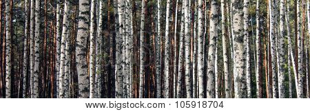 autumn birch forest landscape panorama