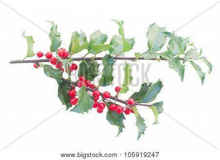 Holly branch on white