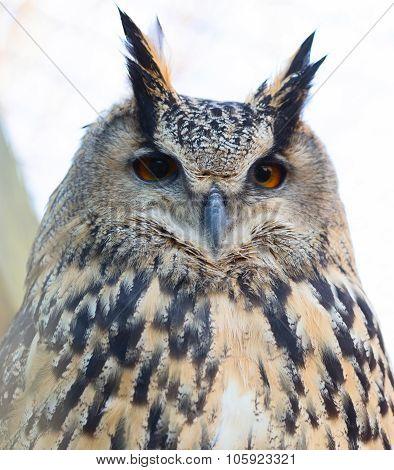 Eurasian Eagle Owl (lat. bubo bubo)