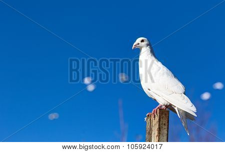 White tame dove against the blue sky