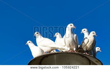 White tame pigeons against the blue sky