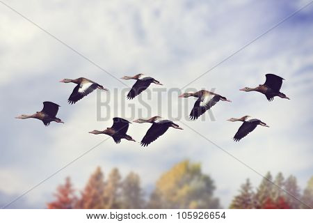 Flock of Black-bellied Whistling Ducks