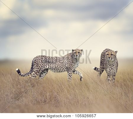Two Cheetahs Walking In Tall Grass