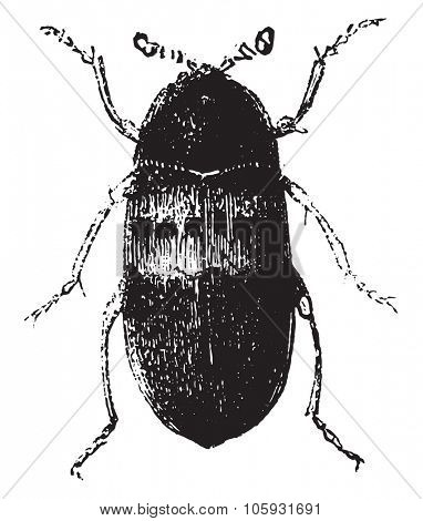 Larder beetle, vintage engraved illustration. Magasin Pittoresque 1877.