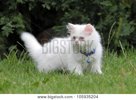 White Persian Cat In Green Grass