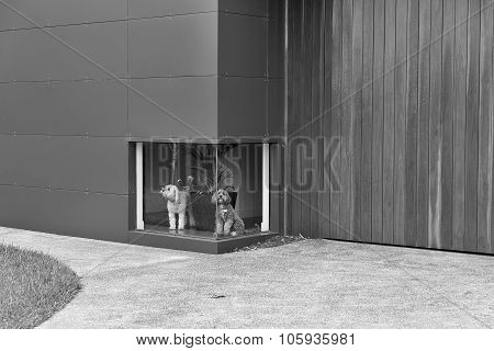 A black and white photograph of a white dog and a brown dog waiting in front of a low window at a ho
