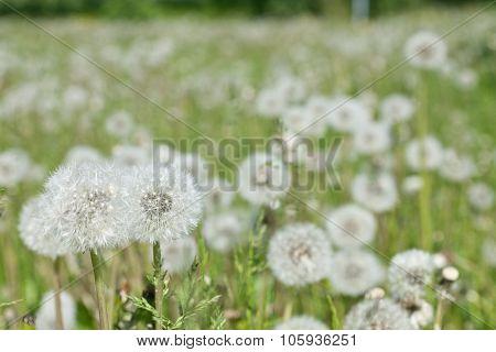 Closeup, macro of  fluffy dandelion, Taraxacum.