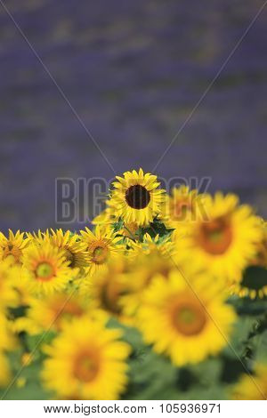 Sunflowers And Lavender Field In Provence