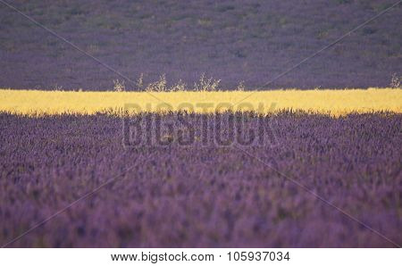 Lavender And Wheat Field Close Up