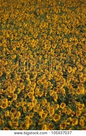 Sunflowers Closeup, Valensole, Provence, France