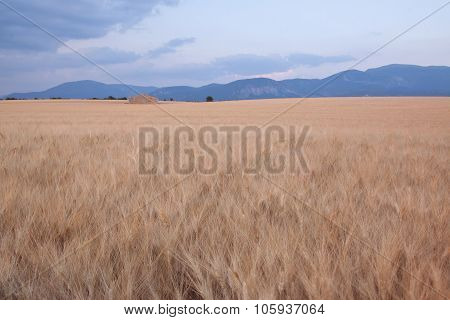 Wheat Field In Provence With Abandoned Farmhouse