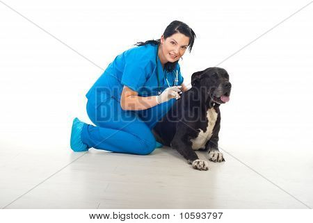 Veterinary Preparing To Vaccine Big Dog