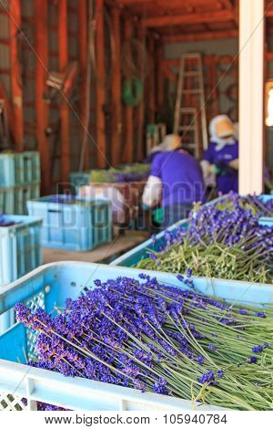 Furano, Japan - July 8,2015: People Processing Lavender Of The Tomita Farm In Hokkaido