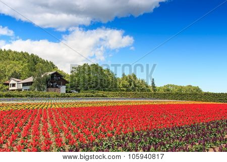 Furano, Japan - July 8,2015: Flowers Of The Tomita Farm In Hokkaido With Some Tourists On Background
