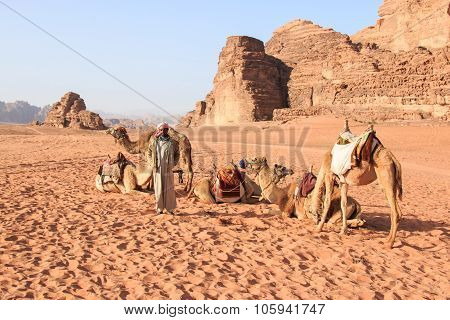 Wadi Rum, Jordan - March 24,2015: Bedouins Preparing The Camels For The Tourist That Will Ride Them