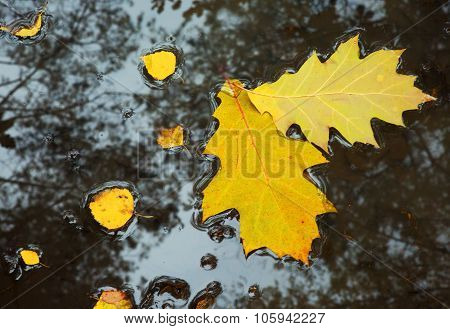 Yellow Leaves On The Water. Horizontal View.