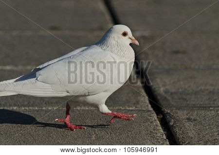 Beautiful View Of A White Pigeon Walking On The Ground