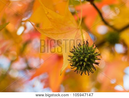 Fruit of the Sweet Gum tree