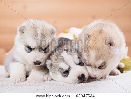 three siberian husky puppies