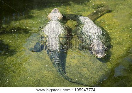 Yacare Caiman Crocodilian