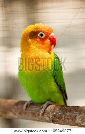 Little Beautiful Green Parrot Lovebird