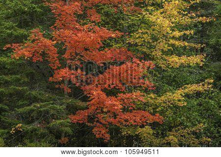 Sugar Maples In Autumn - Ontario, Canada