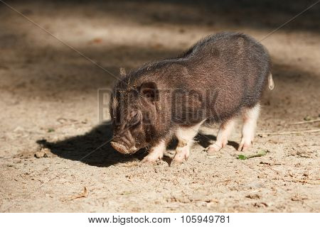Young Little Black Piglet