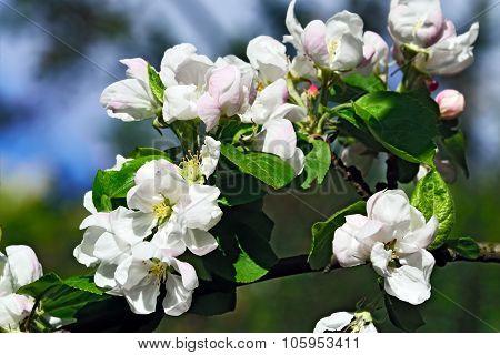 Beautiful Flowers Of Apple-tree Closeup