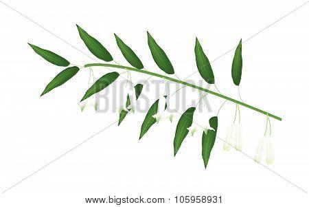 Solomons Seal Flowers Or Polygonatum Multiflorum Flowers