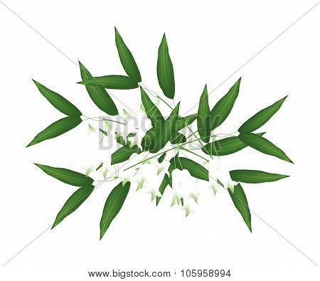 White Solomons Seal Flowers Or Polygonatum Multiflorum Flowers