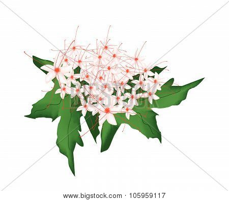 Red Clerodendrum Paniculatum Flowers Or Pagoda Flowers