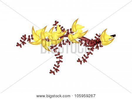 Yellow Bastard Teak Flowers Or Butea Monosperma Flowers