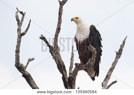 African Fish Eagle (haliaeetus Vocifer) Perched In A Dead Tree