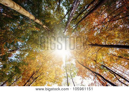 Autumn Forest, Trunks And Yellowed Crown In Sun Rays