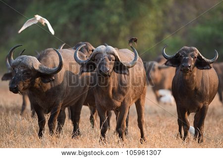 Cape Buffalo (syncerus Caffer) Standing In A Field Of Dried Grasses