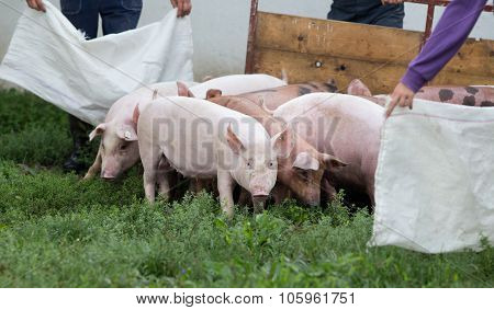 Group Of Pigs On The Ranch