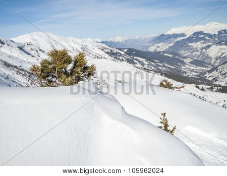 Panoramic View Over A Snowy Slope With Young Pine Tree
